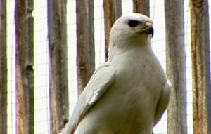 coloradohawk