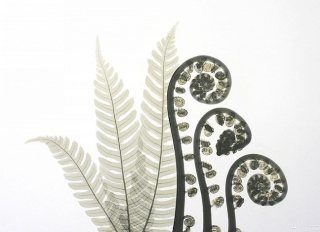 tree-fern-e194-color[1]